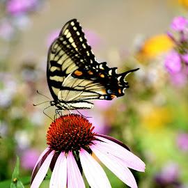Butterfly in the backyard by Tom Davison - Animals Other ( butterfly, macro, minnesota, beautiful, summer, flowers, bokeh, closeup, onlyinmn )