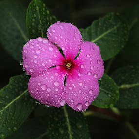 by Bharat Dudeja - Nature Up Close Flowers - 2011-2013 ( water drops, nature, leaves, garden, perwinkle, flower, droplets, drops,  )