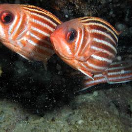 Sargocentron rubrum by Yoram Hakak - Nature Up Close Water ( marine, underwater, yoram, underwater photography, marine life, yoram hakak, photography, hakak )