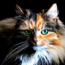 Cat by Elisabeth Sjåvik Monsen - Animals - Cats Portraits ( cat, cat face, pet, eyes, animal )