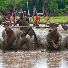 Buffalo Race by Imam Mukti Wibowo - Sports & Fitness Other Sports ( buffalo, sports, people, race, culture, animal )