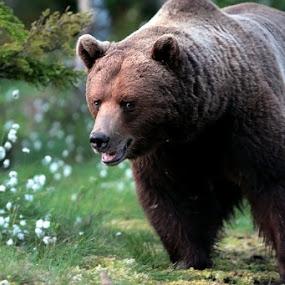 TEDDY BEAR by Zoritza  Wejnfalk - Animals Other ( bear, bown, zoritza, wejnfalk )