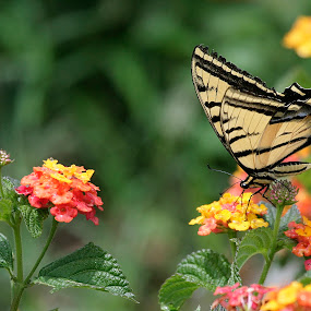 flowers and butterfly by Cristobal Garciaferro Rubio - Animals Insects & Spiders ( butterfly, flowers, bokeh, flower )