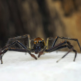 spider by ALex Tan - Novices Only Macro ( macro art, macro photography, spider macro, nature up close, close up )