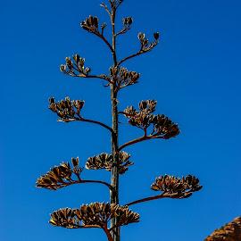 Centurt Cactus by David Walters - Landscapes Deserts ( nature, colors, centurt cactus, landscape, conon )