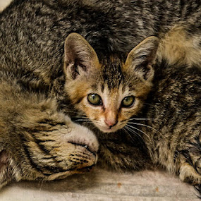 Cuddle by Gi Masangya - Animals - Cats Kittens ( nikon photography, kitten, cat, nature, nikon d3100, fur, 2010, nikon, feline, philippines, photography, animal )