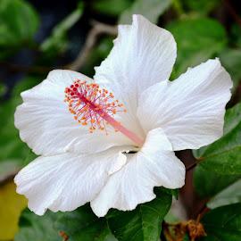 Big Island Rare Hibiscus by Beth Bowman - Flowers Single Flower (  )