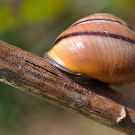 Brown-lipped Snail (Cepaea nemoralis) by Marcy Herrick - Nature Up Close Other Natural Objects ( nature, outdoors, snail )