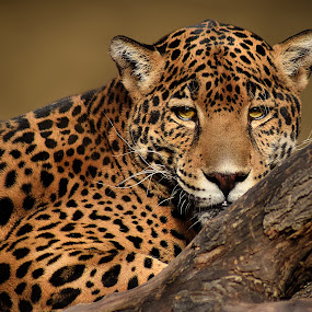 Jaguar Tree by Shawn Thomas - Animals Lions, Tigers & Big Cats (  )