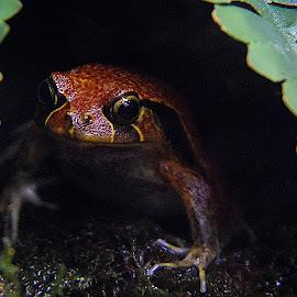 Frog by Shawn Thomas - Animals Amphibians