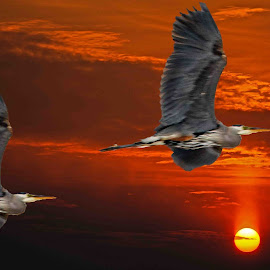 Flying into the sunset by Will McNamee - Digital Art Animals ( aundiram@msn.com, danielmcnamee@comcast.net, mcnamee2169@yahoo.com )