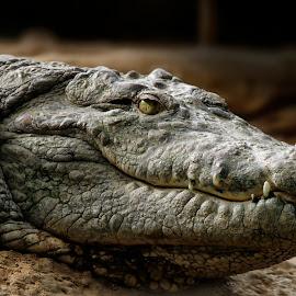 Smile Please by Pat Hartley - Animals Reptiles ( america, american, crocodile, alligator, snout, reptile, teeth, jaw, eye )