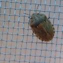 Shield backed bug