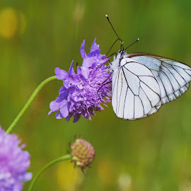 Butterfly G7 by Boris Romac - Animals Insects & Spiders
