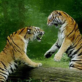 Testosterone Moment by John Larson - Animals Lions, Tigers & Big Cats ( big cats, mainelion photography, amur tiger, tigers, endangered cats,  )