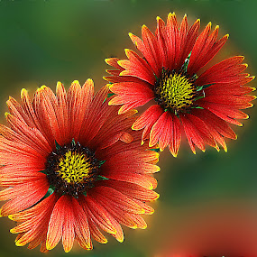 by Dinesh Pandey - Flowers Flower Arangements (  )