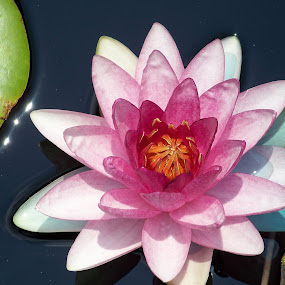 Waterlily in the pink. by Raymond Earl Eckert - Nature Up Close Flowers - 2011-2013 (  )