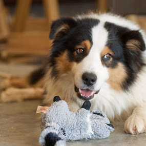 Artie by Christy Borders - Animals - Dogs Playing ( herding dog, australian shepherd, dog, dog toy, aussie )