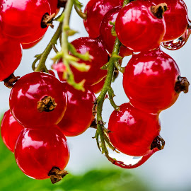 Redcurrant berries by Per Syversen - Nature Up Close Gardens & Produce