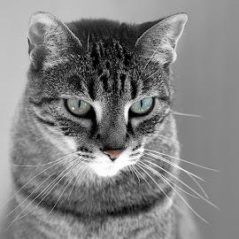 Molly the Cat by Sherry Hallemeier - Animals - Cats Portraits ( kitten, feline, cat, animal, house pet, portrait, kitty, pet, photography,  )