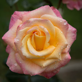 Rose With Dew by Janet Marsh - Flowers Single Flower ( pink, yellow, rose, rose garden, water drops )