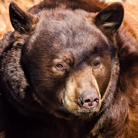 Black Bear by Dave Lipchen - Animals Other Mammals ( black bear )