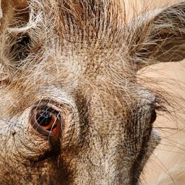 The eye by Santie Korf - Animals Other Mammals ( marloth park june 2015, wildlife, warthog close up, eye, warthog )