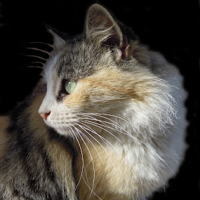 Fluff by Ghazala .S. Mujtaba - Animals - Cats Portraits ( cat, pet, multi colour, one eyed, animal,  )