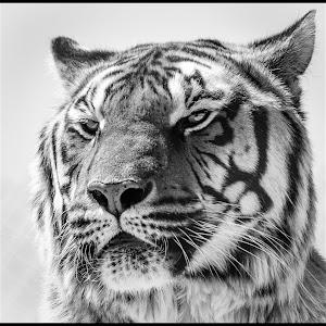 Tiger-73.jpg