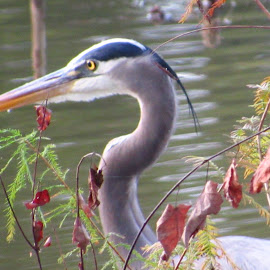 Shoreline Stalker by Kathy Hutto - Nature Up Close Water ( water, waterfowl, nature, blue, golden eye, herons, shrub, birds )