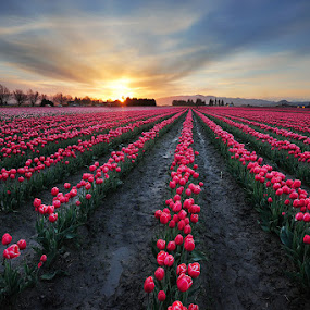 Tulip field  by Pete Piriya - Nature Up Close Flowers - 2011-2013 ( field, washington, skagit, tulip, festival, sunrise, flower )