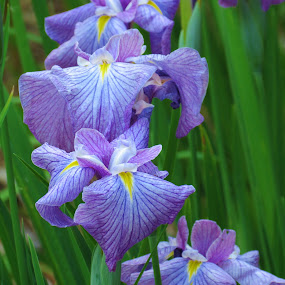 Line of Irises by Vijay Govender - Flowers Flower Gardens ( lilac, iris, flowers )