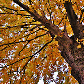 Sarah the Maple Tree by Carolyn Taylor - Nature Up Close Trees & Bushes