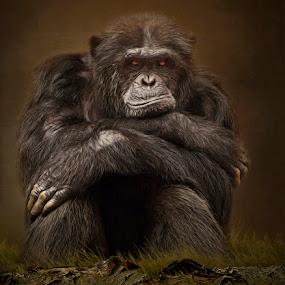 Why's Everybody Always Staring at Me? by Ann J. Sagel - Digital Art Animals ( monkey, textured, topaz, chimpanzee, ann j. sagel )