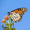 Monarch butterfly / Monarch-Falter
