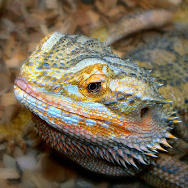by Karen Tucker - Animals Reptiles ( colourful, nature, scaly,  )