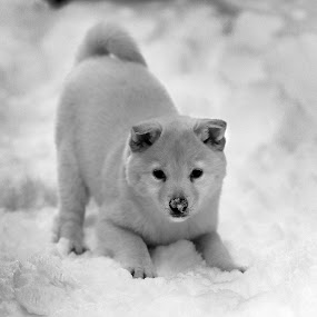 Shiba Inu Puppy by Aaron St Clair - Animals - Dogs Puppies ( winter, shiba, snow, inu, white, puppy, cute, nose, pretty )