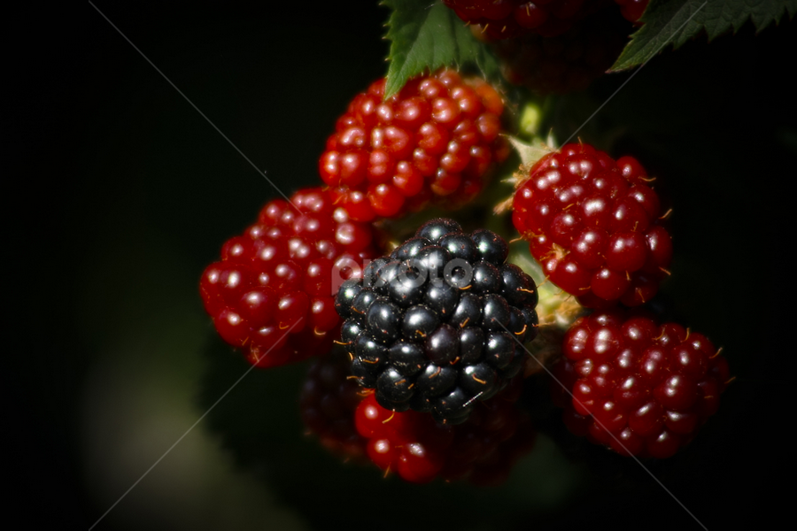 blackberry by Tomislav Šestak - Nature Up Close Gardens & Produce ( blackberry, fruit, red, pwcvegetablegarden, black )