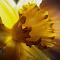 daffodil color.jpg