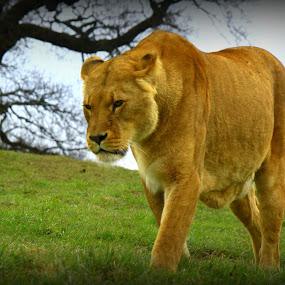 Thinking by Suzanna Nagy - Animals Lions, Tigers & Big Cats ( pwcmovinganimals )