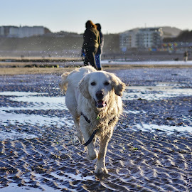 by Eloise Rawling - Animals - Dogs Playing ( sand, beach, dog )