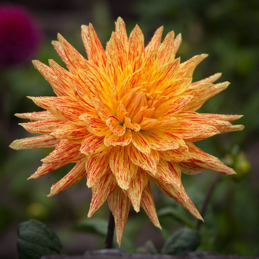2 Tone by Janet Marsh - Flowers Single Flower ( orange, dahlia, dew, yellow )