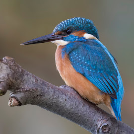 Kingfisher by Denis Keith - Animals Birds