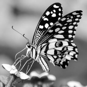 Monarch Butterfly on Flower by Diliban P - Black & White Flowers & Plants ( plant, butterfly, park, plants, flower )