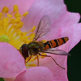 Hoverfly by Chrissie Barrow - Animals Insects & Spiders ( orange, wild, stamens, thorax, abdomen, yellow, insect, hoverfly, macro, wings, dog rose, pink, legs, head, black, flower, animal, eye )