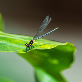 Damselfly on a leaf. by Debasish Sengupta - Animals Insects & Spiders ( nature, damselfly, green, wings, wildlife, leaf, insect, photo, photography, animal,  )
