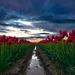 Sunrise at Skagit Valley by Peter Cheung - Landscapes Sunsets & Sunrises ( skagit valley tulip festival )