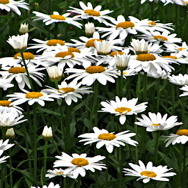 Full of love  by Dawn Moder - Novices Only Flowers & Plants ( grass, green, white, daisies, yellow, flowers )