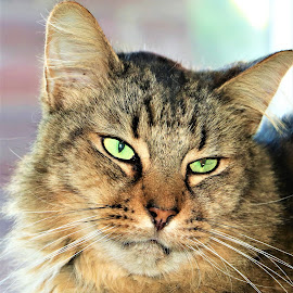 Chief by Linda    L Tatler - Animals - Cats Portraits ( feline, cat, maine coon, tabby, male )
