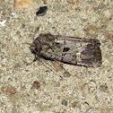 Bristly Cutworm moth
